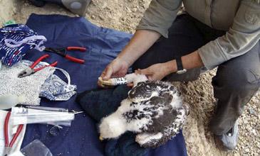 Marcaje del águila azor perdicera