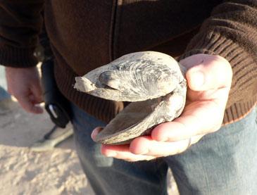 Imagen de archivo de un mejillón cebra